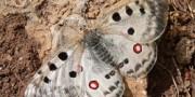 Farfalle diurne